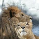 Fierce Kindness Lion